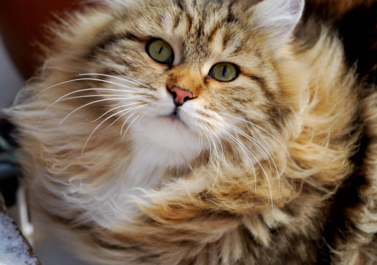 сибирские коты картинки типа микс