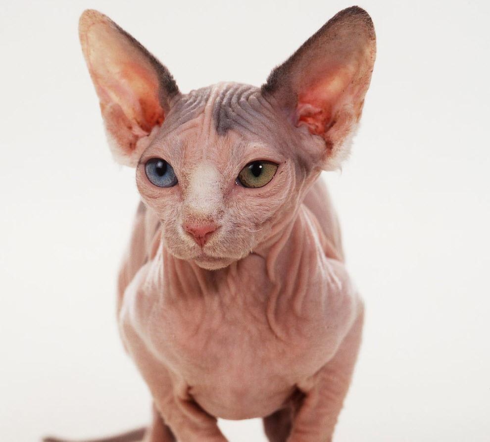 Рука дню, лысые кошки картинки