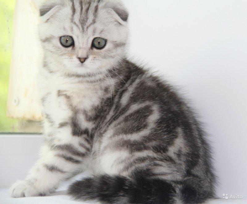 фото котят скоттиш страйт