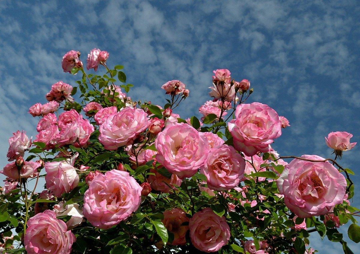 Красивые картинки розы вьющиеся
