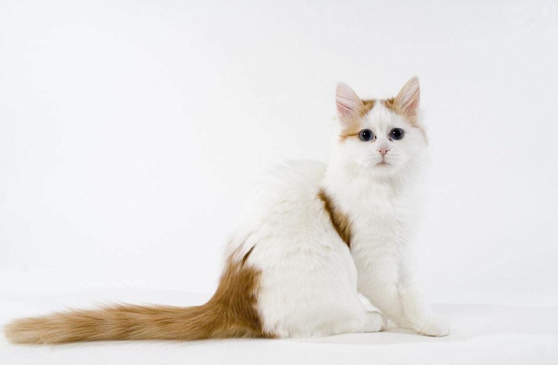 шаговой доступности турецкий ван порода кошек фото словам