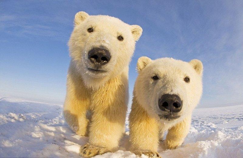 Белые медведи вблизи - Фотоблог Klimbo.ru - Взгляни на мир!