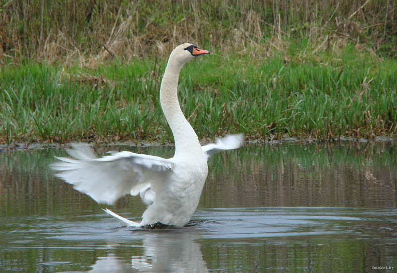 Фото лебедей | Фотоэнциклопедия Беларуси