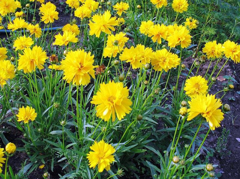 Кореопсис крупноцветковый желтый