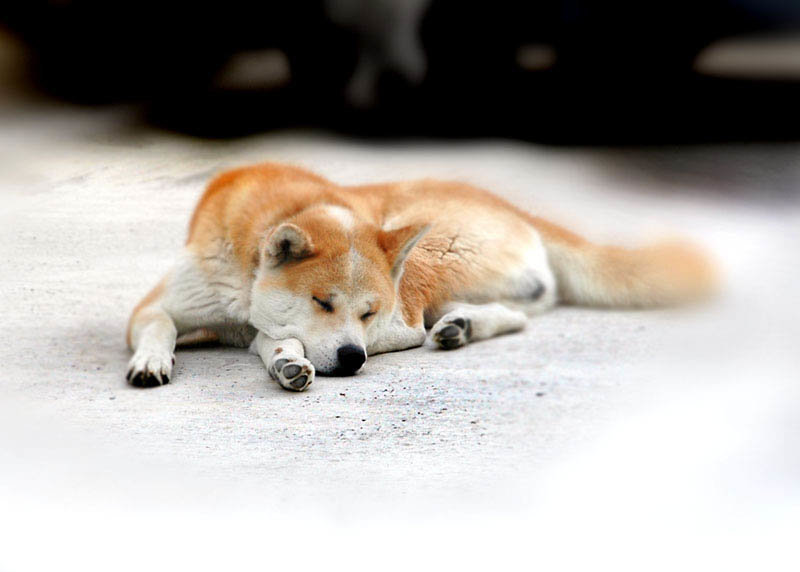 Акита-ину — сокровище Японии - 26 Августа 2012 - Animal Planit