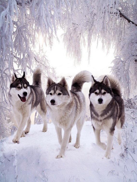 Частный Питомник Сибирский Хаски - Наши собаки