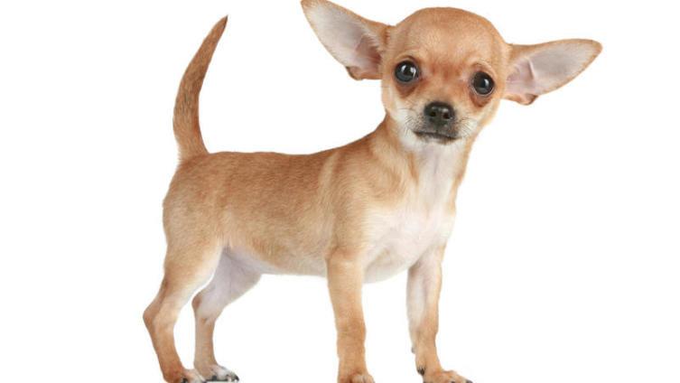 Чихуахуа. Что это за собака? | Животные | ШколаЖизни.ру