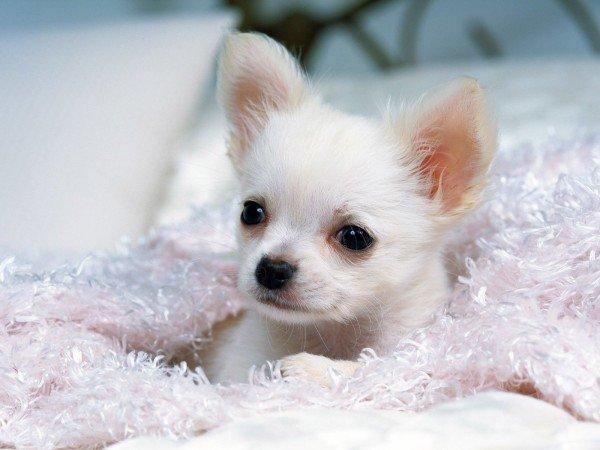 Чихуахуа. О породе собак: описание породы чихуахуа, цены, фото, уход