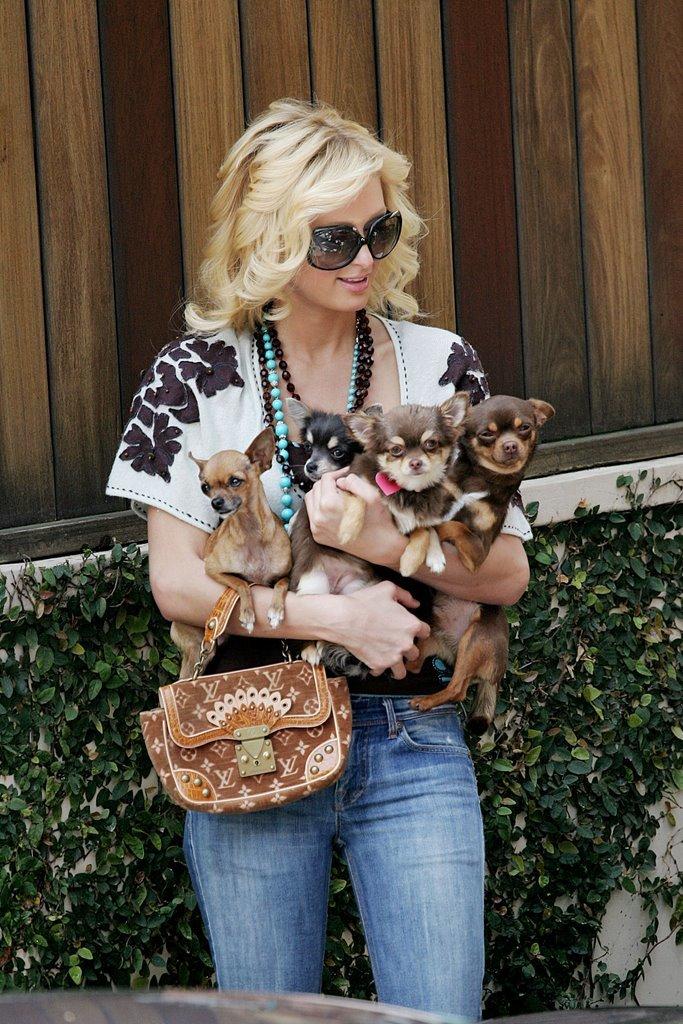 Чихуахуа: порода собак, щенки, фото, описание, купить - EliteDogs