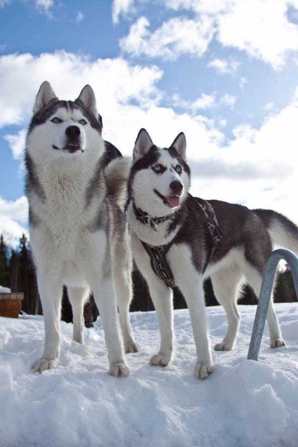 Если бы у собак были боги, это были бы Северные Ездовые..... — Живи моментом!