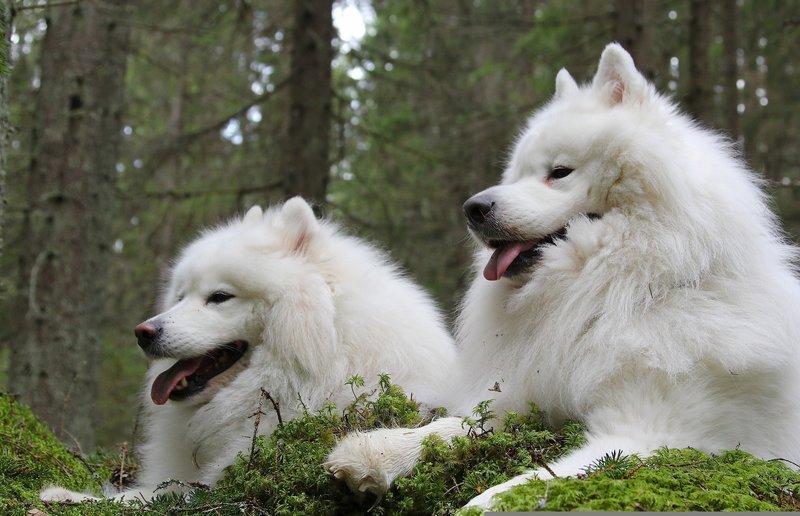 HD обои :: Обои самоедская собака, самоед, парочка