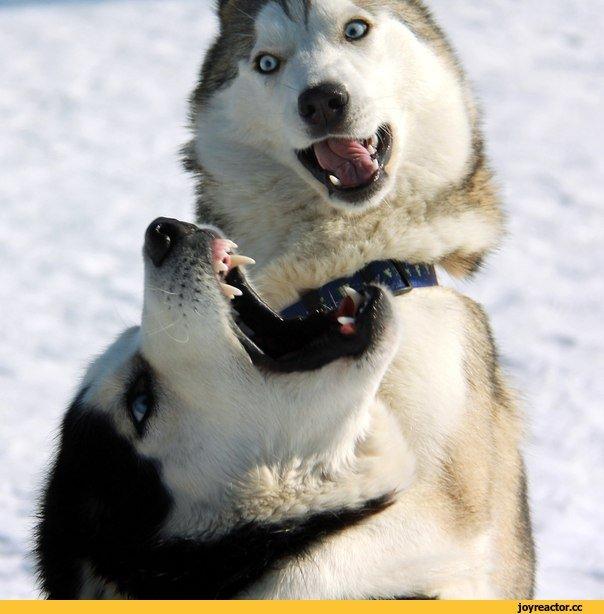 I R wjÉ|| «R# 4 / хаски (husky, сибирская хаски, сибирский хаски, ) :: живность :: собака (собакен, собакены, собаки, щенки, щенок, собака, ) / смешные картинки и другие приколы: комиксы, гиф анимация, видео, лучший интеллектуальный юмор.