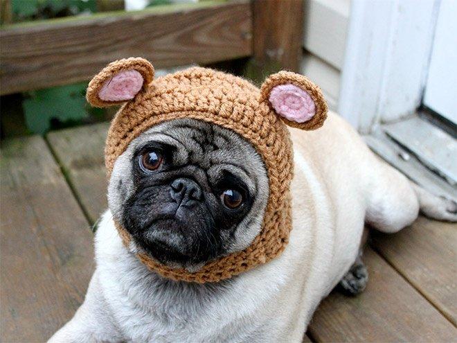 Интересности: Мопс в шапке