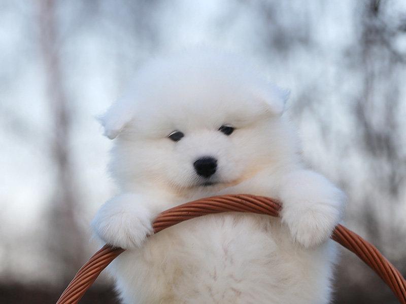 красивые щенки самоеды