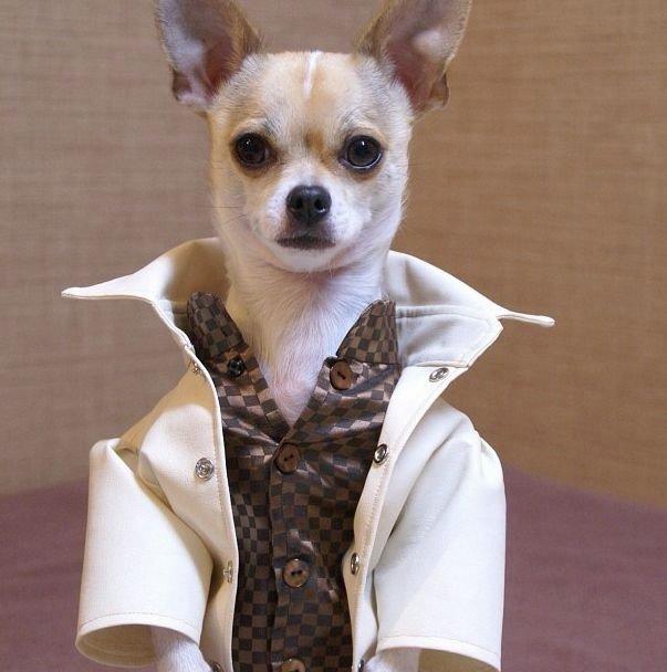 Монтжиро — чихуахуа, который одевается лучше тебя. Обсуждение на LiveInternet - Российский Сервис Онлайн-Дневников