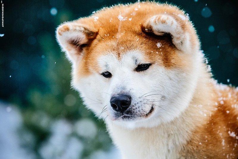 Порода собаки из фильма Хатико — Акита-ану (фото и цена) | «Дай Лапу»