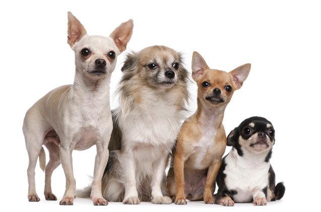 Разные виды собак породы чихуахуа фото