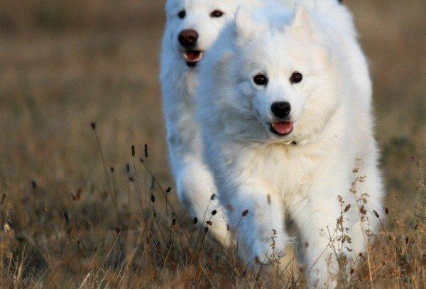 Самоед, самоедская лайка. О породе собак: описание породы самоед, самоедская лайка, цены, фото, уход
