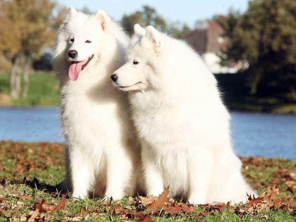 Самоед. Самоедская собака