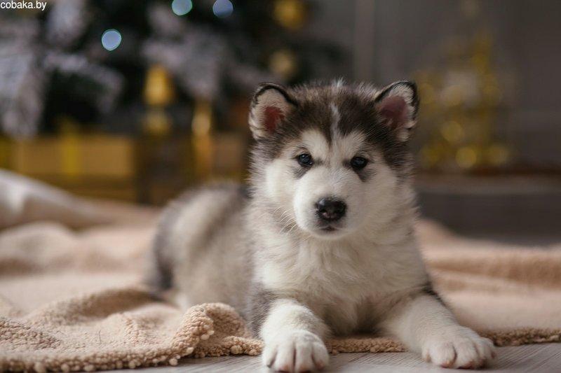 Щенки аляскинского маламута - Продажа Аляскинский маламут | cobaka.by (собака бай)