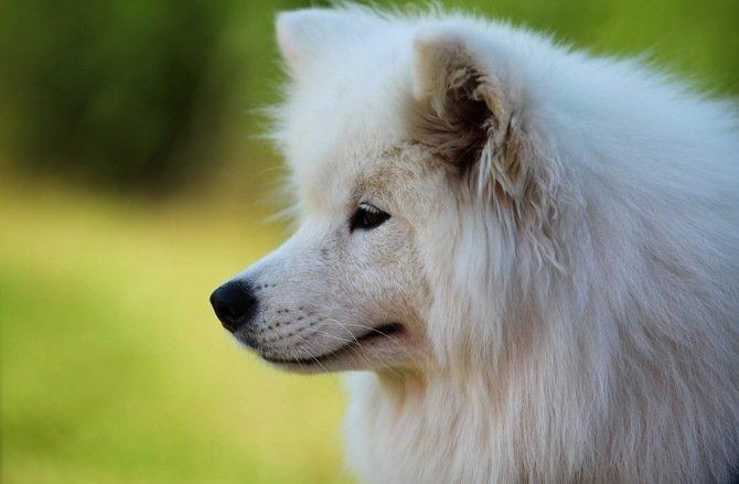 собака, самоед, портрет, морда