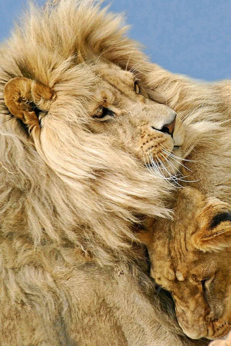 слышится вой суперские картинки со львами хуже