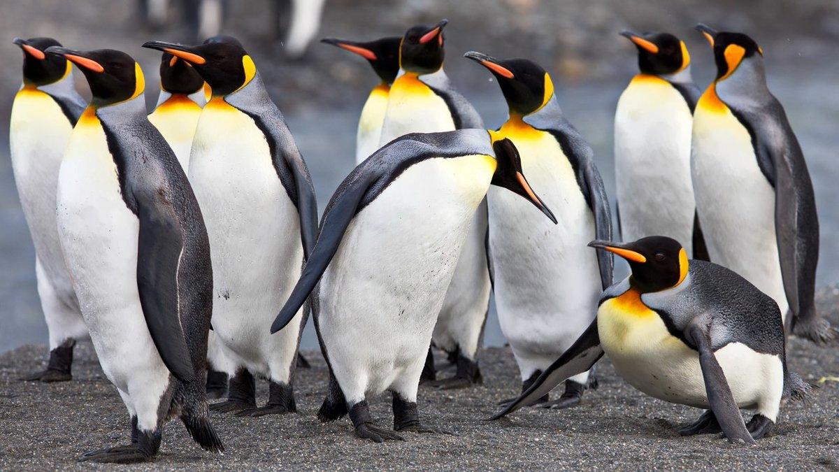 императорский пингвин фото подобранная цветовая гамма