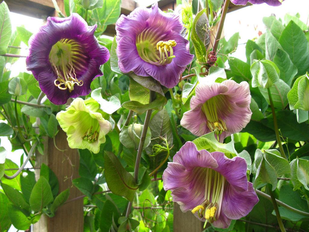 Купить колокольчик вьющийся цветы цена, цветов спб оплата