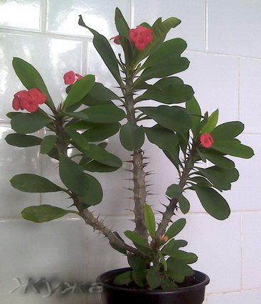 Молочай Миля - Комнатные растения и цветы 94