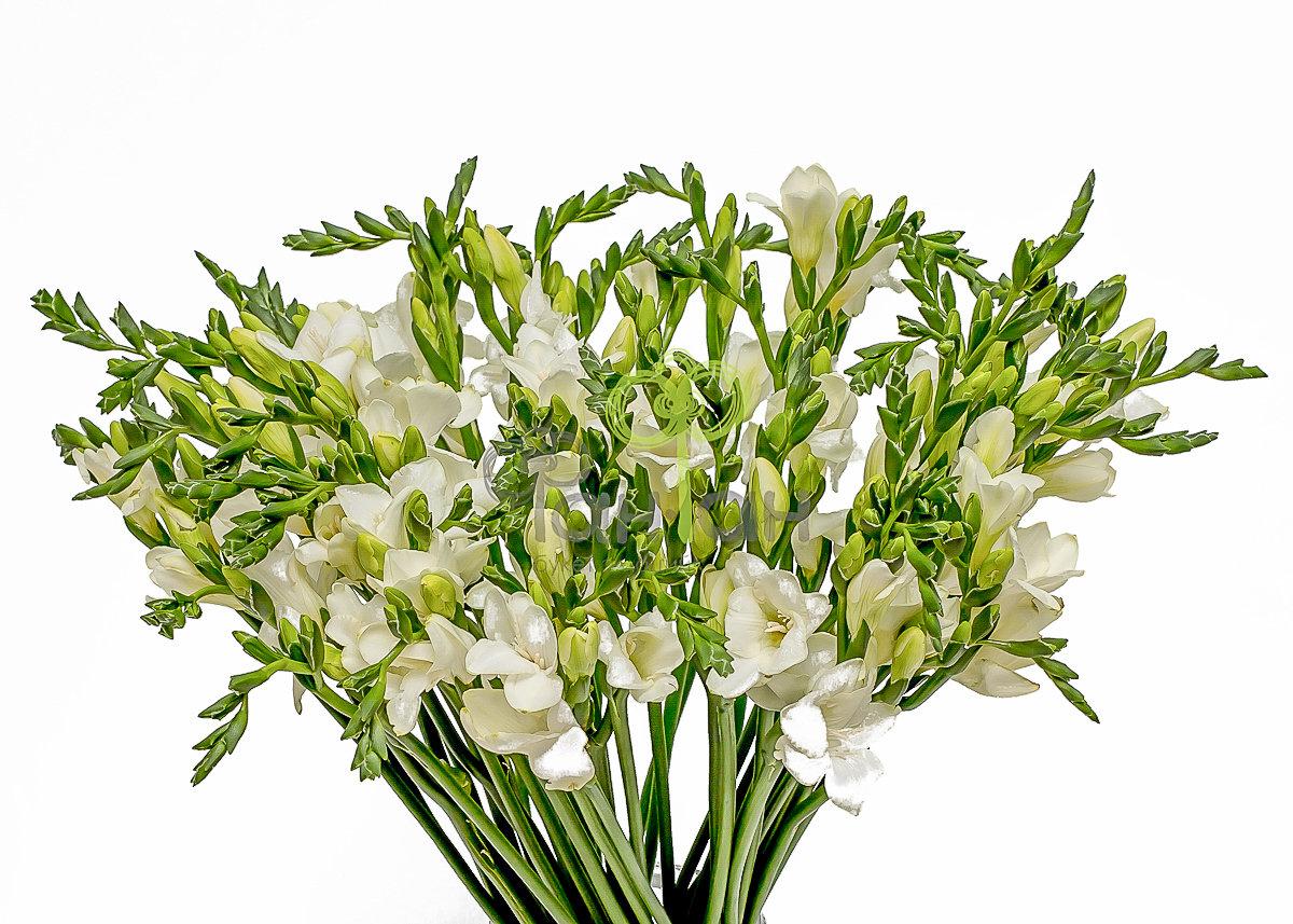 Цветов минске, фрезия белая срезанные цветы купить