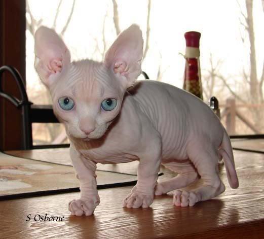 У кошек веселый Ñарактер, они очень общительны и невероятно привязаны к своему Ñозяину. А вот проблем с лапами и позвоночником, которые присущи коротконогим собакам, у бамбино нет.