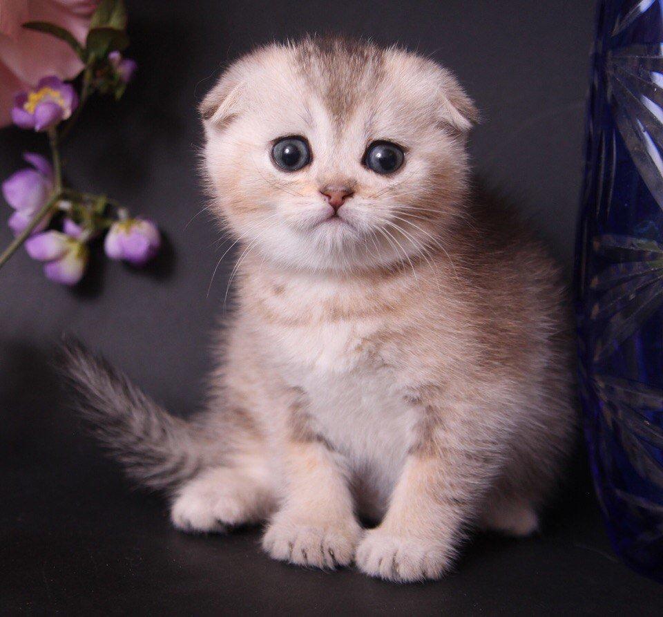 фотохроникам инстаграм, картинки шатланский котенок фафнира, своего
