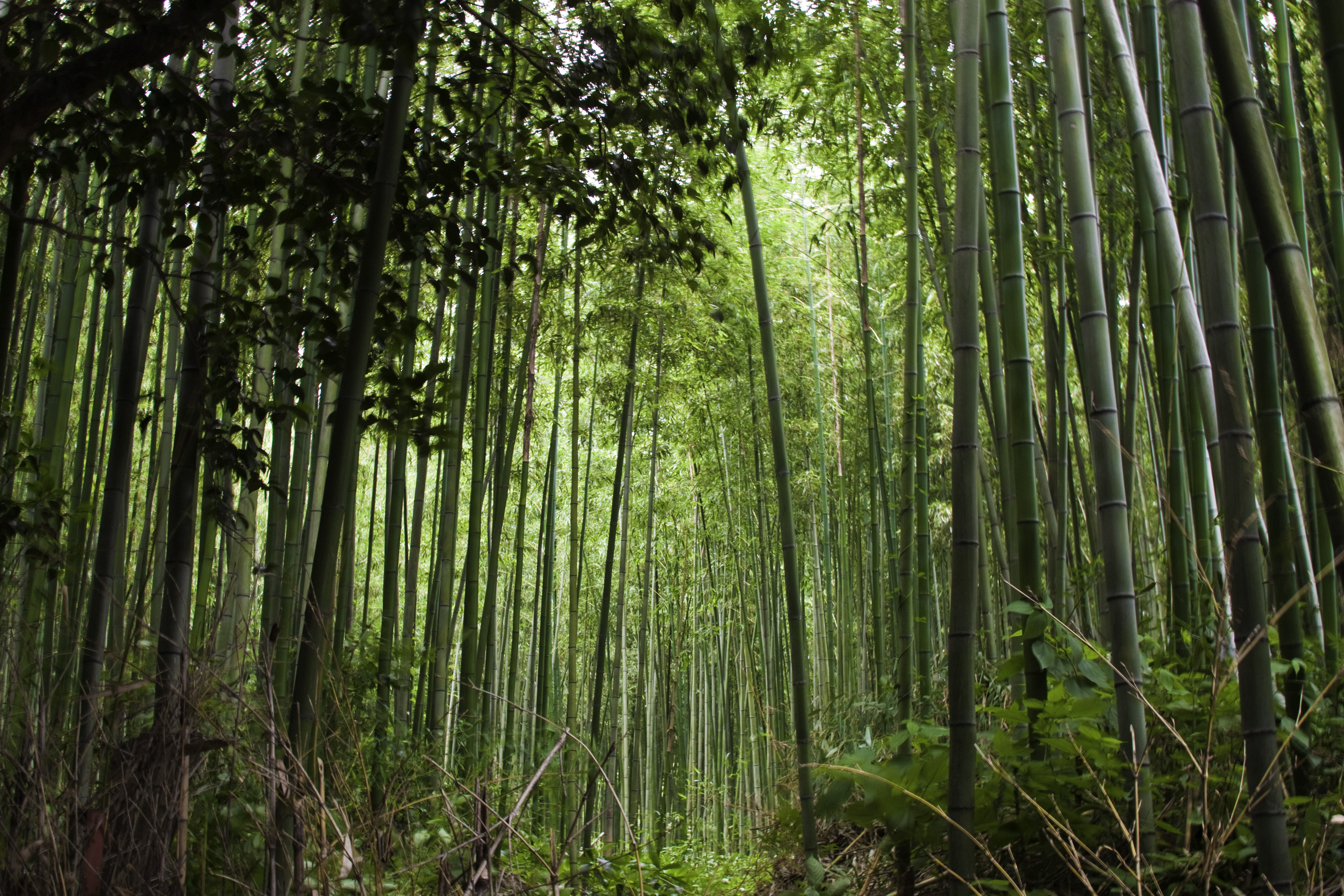 bamboo forest cool nature hd wide wallpaper for widescreenbamboo