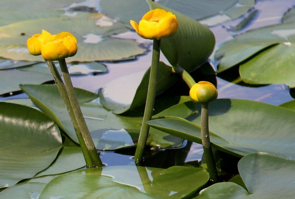 картинки речное растение кубышка лежаки