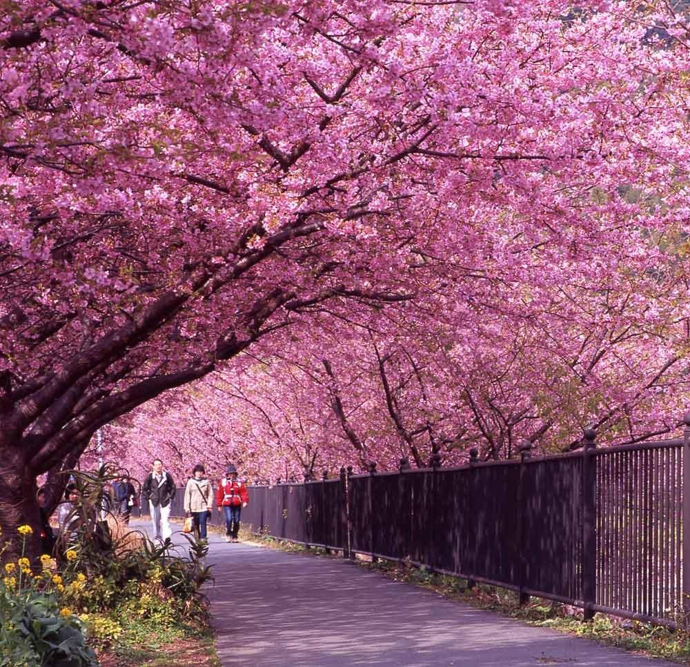 cherry blossom festival - 1000×967