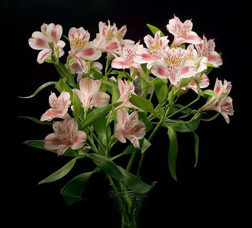 Цветок для букетов похож на лилию, цветов