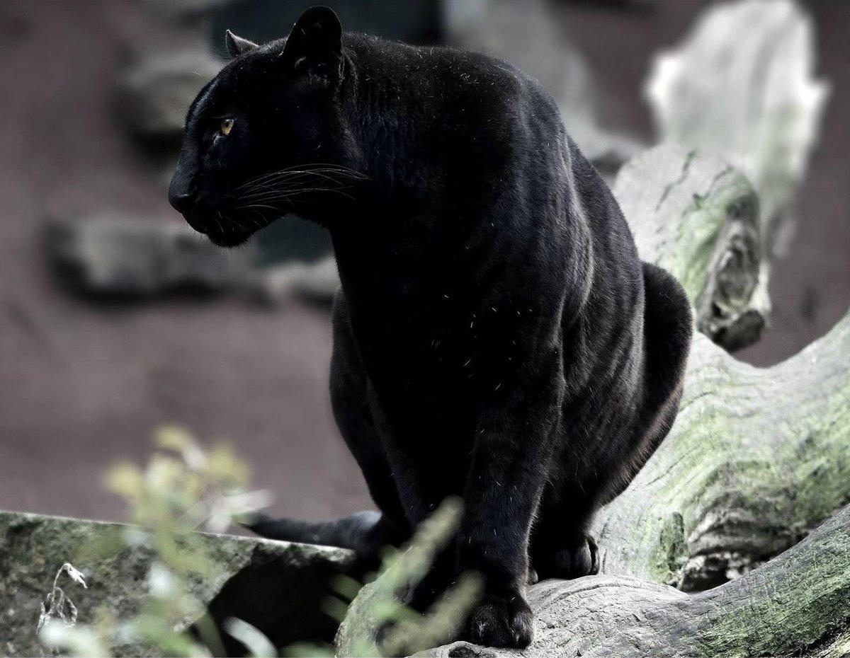 Черно красные картинки пантеры