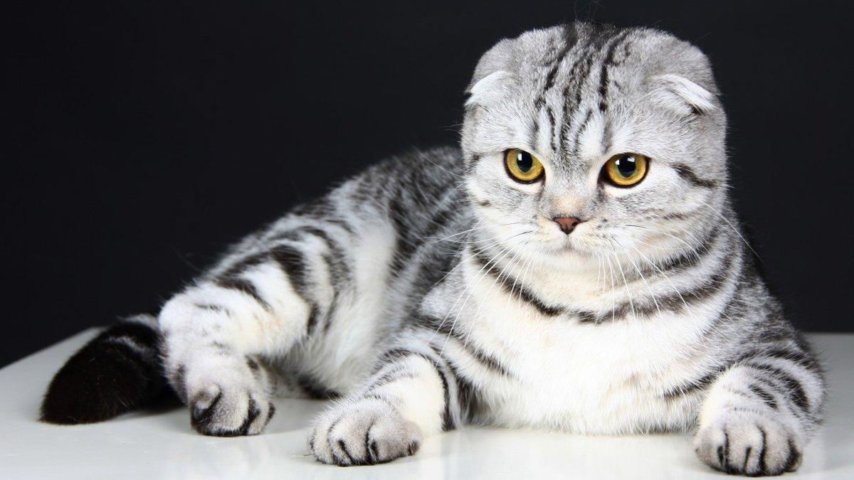 Картинки британских кошек вислоухих