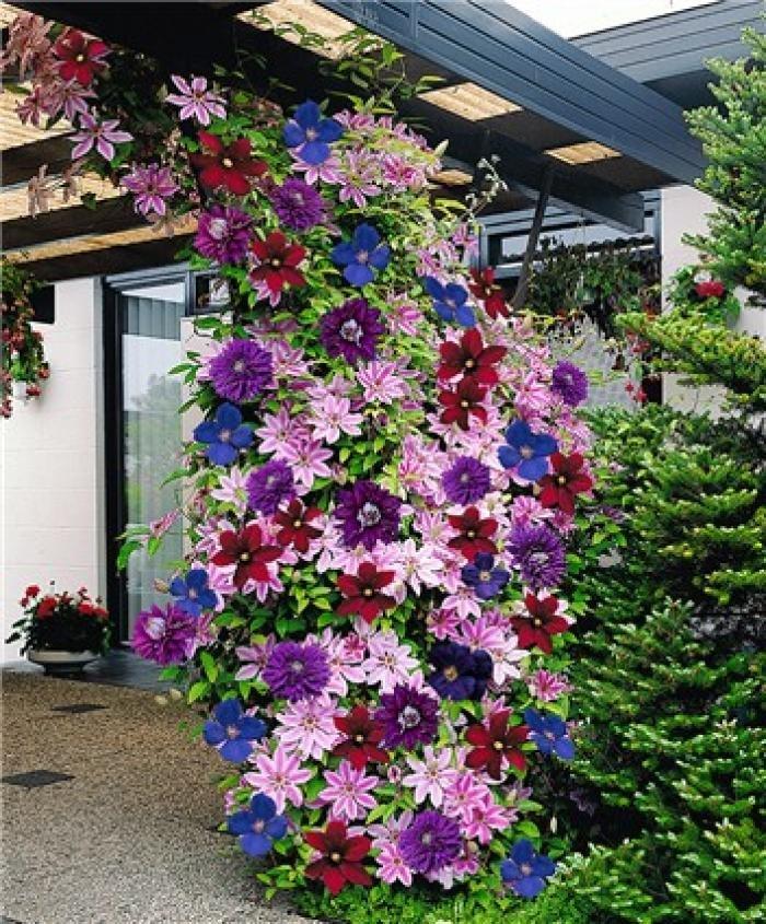 Вьющиеся многолетние цветы