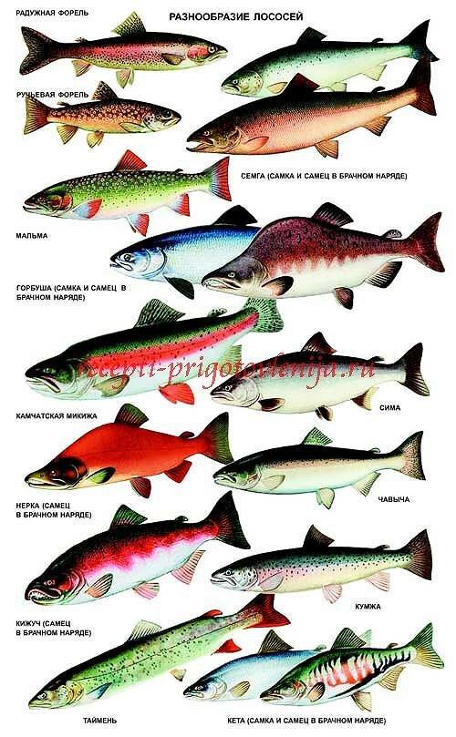 фото лососевых их рыбы семейства