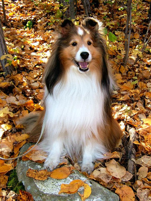 Шелти – не задиры, они очень мирные и добрые собаки. Они отлично уживутся с Вашими детьми, проявят терпение к старикам и лояльность к другим животным.