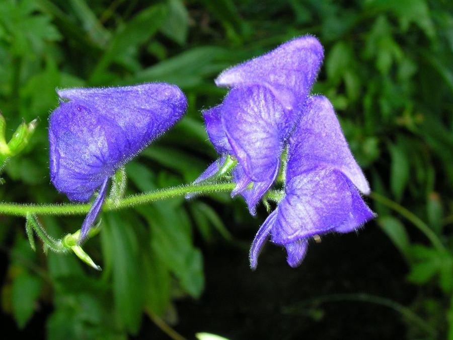 Ядовитые цветы на даче фото и названия
