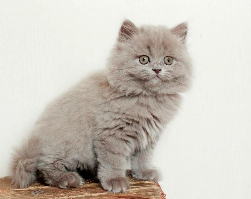 Кошка окрас лиловый
