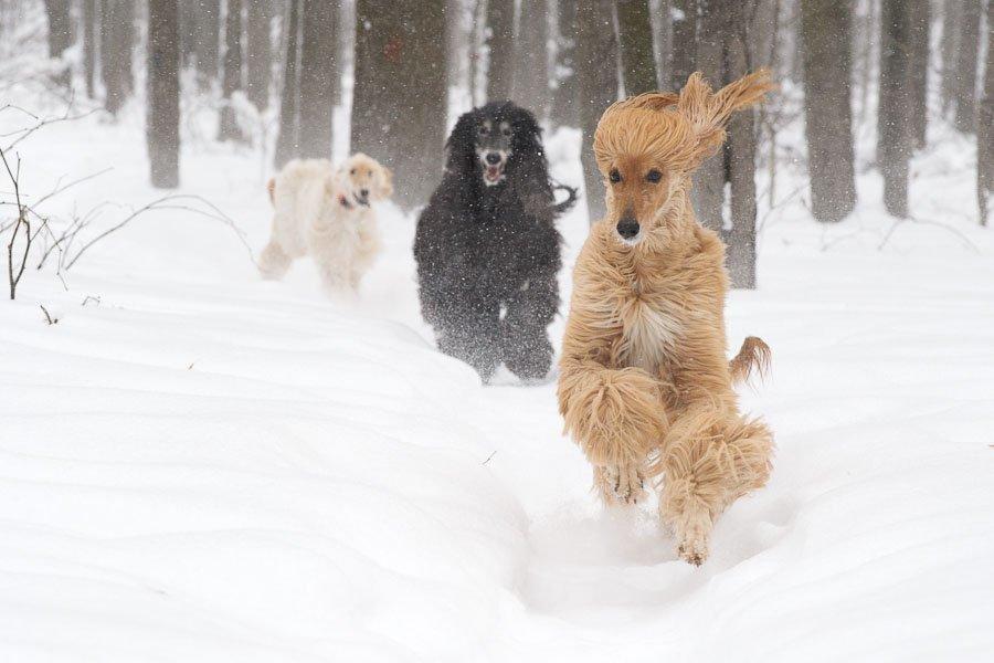 прогулка афганов в зимнем лесу