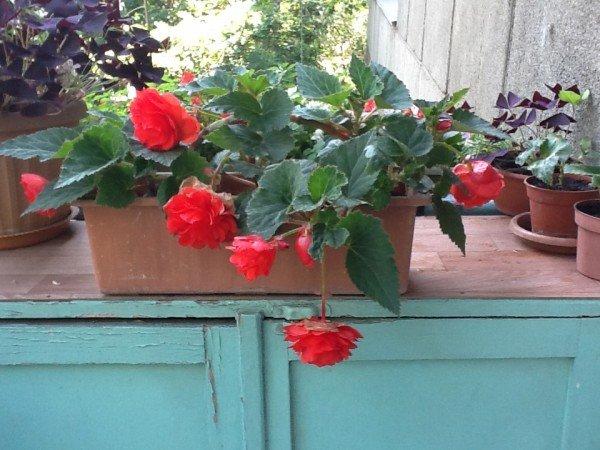 Садоводство, дача / цветы на балконе / pinme.ru / pinme.