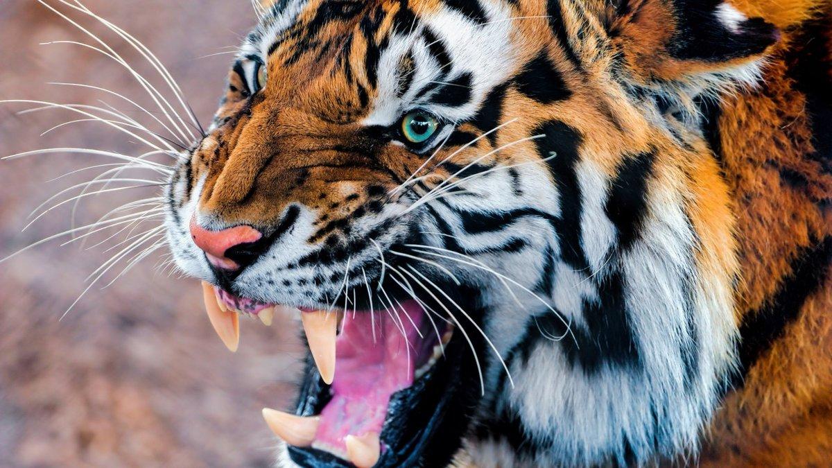 тигр, рычание, глаза, шерсть, Tiger, snarling, eyes, fur