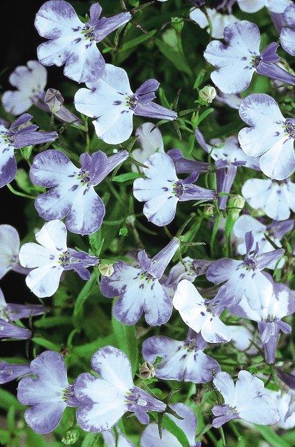 Лобелия прямостоячая Ривьера Блю Сплэш. Формирует компактный куст шаровидной формы, усыпанный многочисленными мелкими цветками. Цветение обильное и продолжительное.