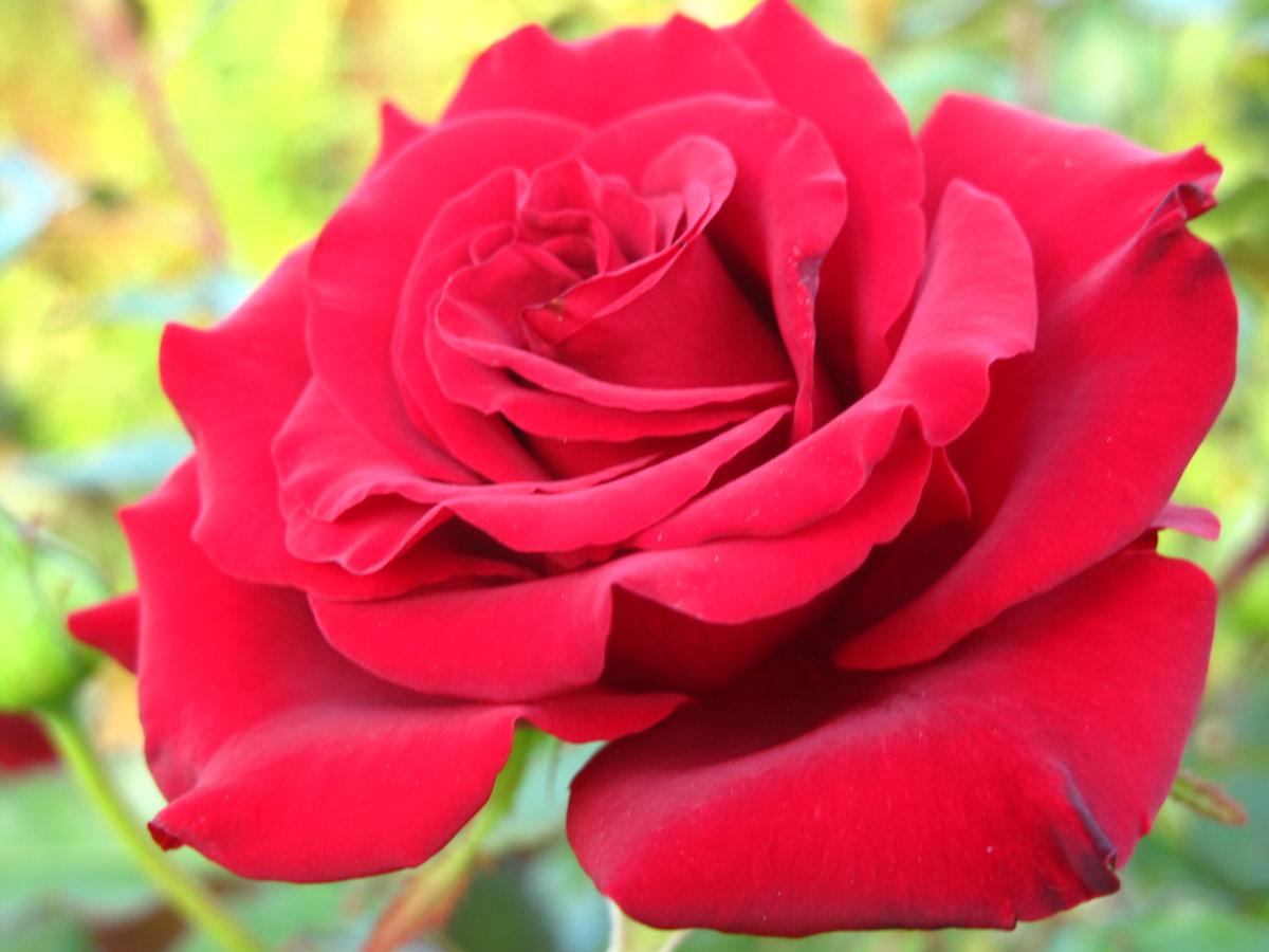 продолжаем все розы фото с названиями изготовлении мундштука