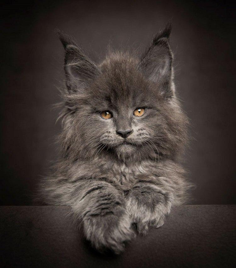 Впечатляющие габариты питомцев не должны вводить вас в заблуждение. Они найдут себе место на территории любой площади благодаря природной адаптивности. Коты мейн-кун не станут прыгать по углам вашей квартиры, но любят, когда Ð¸Ñ Ð»Ð¸Ñ‡Ð½Ð°Ñ территория наÑодится на возвышении.