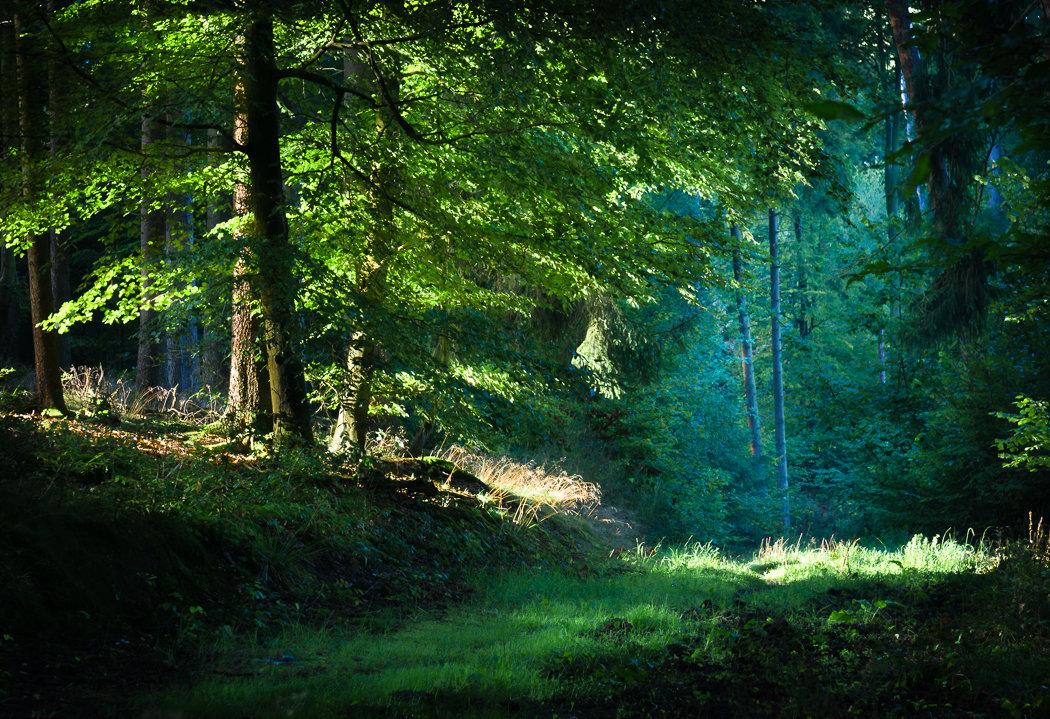 картинки густой лес можно